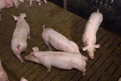 Porcs à la ferme Photo stock