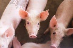 Porcs à la ferme Industrie de viande Photographie stock