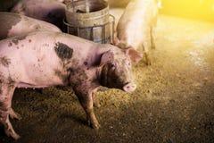 Porcs à la ferme Industrie de viande Images stock