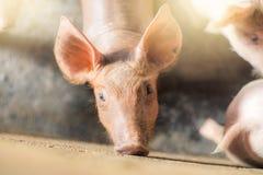 Porcs à la ferme Industrie de viande Photos libres de droits