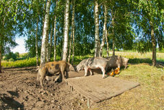 Porcs à une ferme Images stock