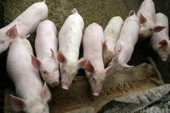 Porcs Photos stock