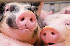 Porcs Photo libre de droits