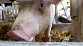 Porcs blancs vous mangeant et regardant banque de vidéos