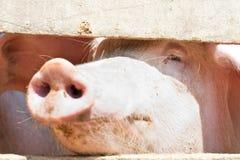 Porcs collant leurs nez par une frontière de sécurité Image stock