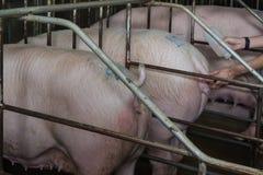 Porcs cultivant - ferme de porcs de parent Photographie stock