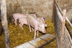 Porcs d'élevage à la ferme Grippe de porc Image libre de droits