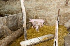 Porcs d'élevage à la ferme Grippe de porc Photo libre de droits