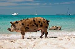 Porcs d'île Photos libres de droits