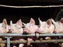 Porcs d'Enthousiastic Photos stock