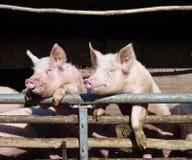 Porcs d'Enthousiastic Photo libre de droits