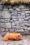 Porcs d'une chevelure rouges Photographie stock