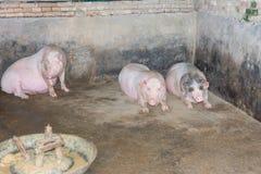 Porcs dans l'étable Images stock
