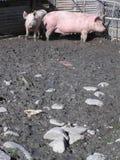Porcs dans la boue Photos libres de droits