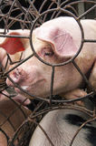 Porcs dans la cage Photo libre de droits