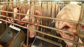 Porcs dans la ferme banque de vidéos