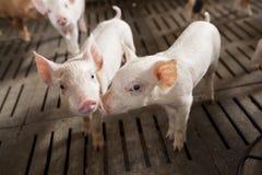 Porcs dans la ferme Photos stock