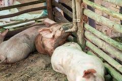 Porcs dans la ferme Photos libres de droits