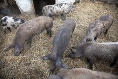 Porcs dans une ferme Images libres de droits