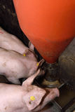 Porcs dans une ferme Photo libre de droits
