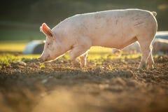 Porcs dans une ferme organique de viande photo stock
