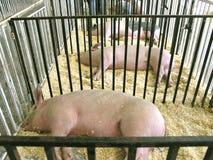 Porcs dans une ligne Image libre de droits