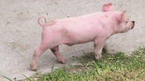 Porcs de bébé, porcelets, porcs, animaux de ferme banque de vidéos