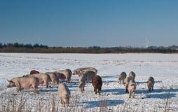 Porcs de gamme photos stock