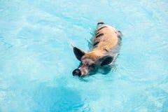 Porcs de natation d'Exumas Photos libres de droits