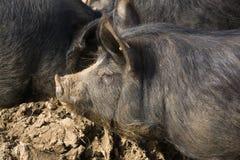 Porcs de noir de Berkshire photographie stock