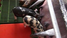 Porcs de soins, porcelets, porcs, animaux de ferme banque de vidéos