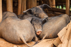 Porcs de sommeil Photo libre de droits