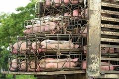 Porcs de transport Photographie stock