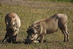 Porcs de verrue photo libre de droits