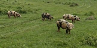 Porcs et animaux de ferme frôlant dans le pré photo stock