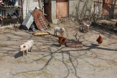 Porcs et poulets dans la cour photographie stock libre de droits