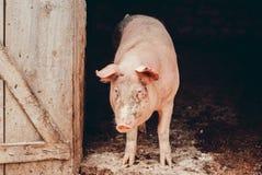 Porcs grandissants dans le village Photographie stock