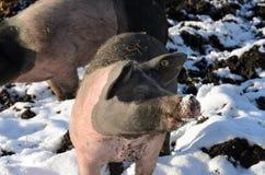 Porcs gratuits de gamme dehors dans la neige d'hiver Photographie stock