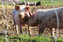 Porcs gratuits heureux de gamme avec la boue et herbe : Embrassant le sourire porcin Photos stock
