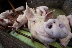 Porcs heureux Photographie stock libre de droits