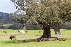 Porcs ibériens dans le dehesa Photo stock