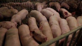 Porcs intensivement élevés dans des stylos en lots banque de vidéos