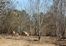 Porcs jouant en saleté Image stock