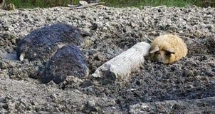 Porcs laineux image stock