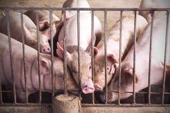 Porcs maigres dans une ferme Photo stock