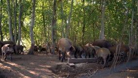 Porcs mangeant de la nourriture de la cuvette d'alimentation sur le pâturage à la ferme d'animaux Porcs à la ferme clips vidéos