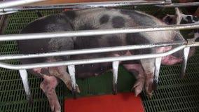 Porcs mis en cage, abus animal banque de vidéos