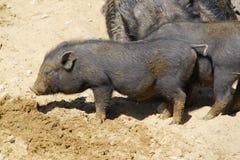 Porcs noirs Photographie stock