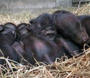 Porcs noirs de la Guinée d'Américain images stock