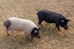 Porcs noirs et blancs Photo libre de droits